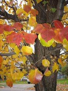 Fall colors, pear tree,